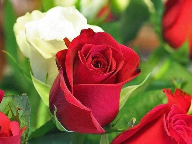 Розы: защита от вредителей и болезней