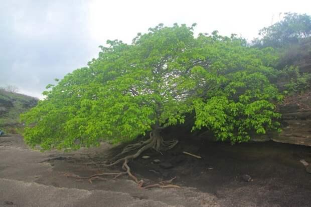 Самое ядовитое дерево на планете - манцинелла (ядовиты и смертельно опасны все части растения) деревья, невероятное, природа, удивительное, флора