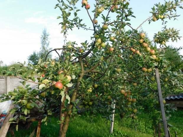 Опоры под самыми перегруженными урожаем побегами жизненно необходимы яблоне в период плодоношения