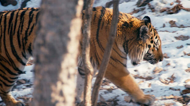 tiger_1_sundance.jpg