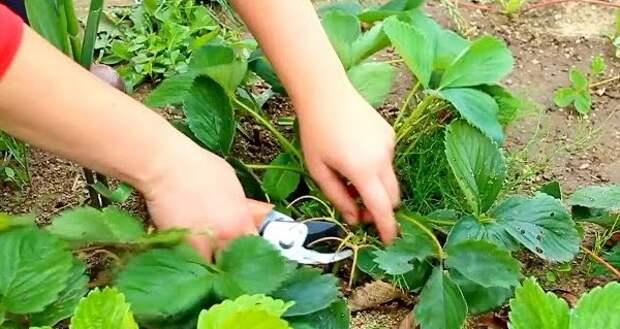 Когда нужно обрезать листья у земляники