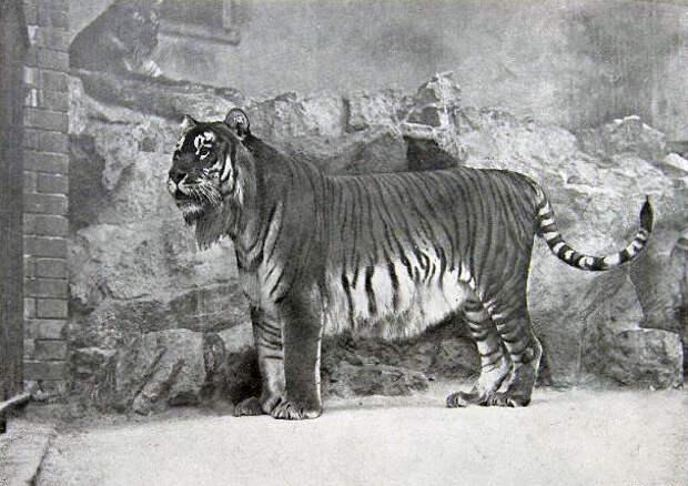 Panthera_tigris_virgata.jpg