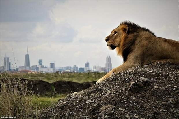 8. Сухейл Манджи (Suhail Manji) дикая природа, дикие животные, животные, лучшие фото, львы, подборка, фото, хищники