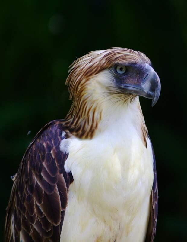 5 место. Филиппинский орёл — национальный символ Филиппин. Питается обезьянами, шерстокрылами и рядом других мелких млекопитающих. Находится на грани исчезновения и охраняется местными властями. (Klaus Stiefel)