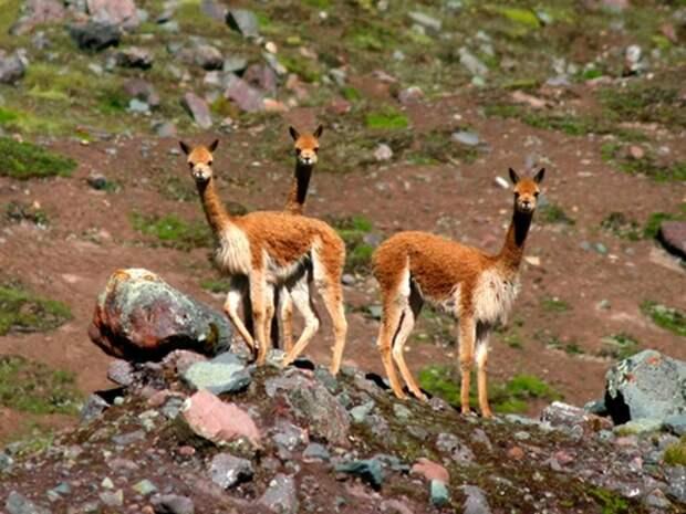 Викунья-животное-Описание-и-образ-жизни-викуньи-7