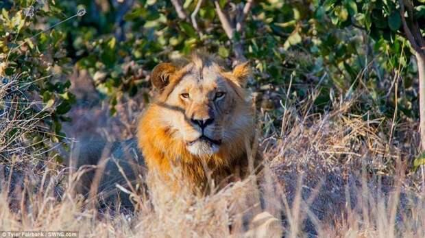 За время путешествия по Ботсване фотограф встретился со львами, слонами, бегемотами, обезьянами, импалами, сурикатами, и многими другими обитателями саванны. ботсвана, видео, дикая природа, животные, красиво, таймлапс, фото, фотограф