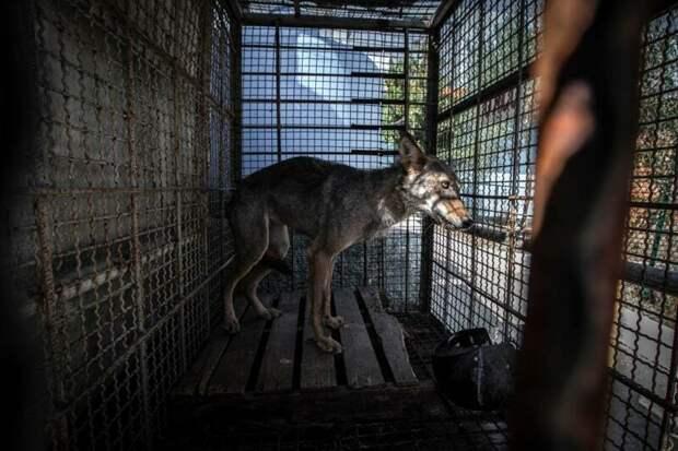 Волк в тесной клетке, сафари-парк в Фиере, Албания Four Paws, Албания, животные, зоопарк, организация, спасение, фото