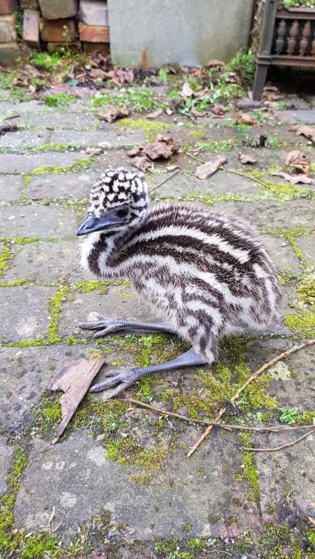 Уже спустя неделю птенец окреп животные, инкубация, птица, результат, страус, фото, эму, яйцо
