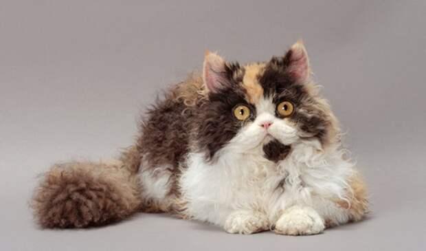 Удивительные кудрявые коты очаровали всех пользователей Сети