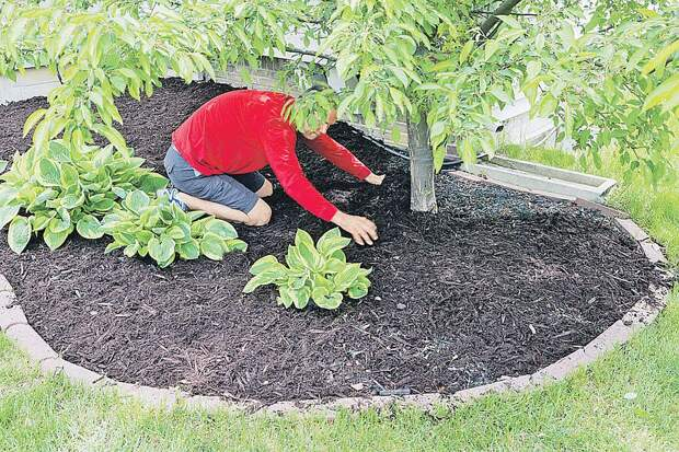 Землю под деревьями можно замульчировать торфом. А красавицы хосты не дадут сорнякам даже вылезти. Фото: PhotoXPress.ru