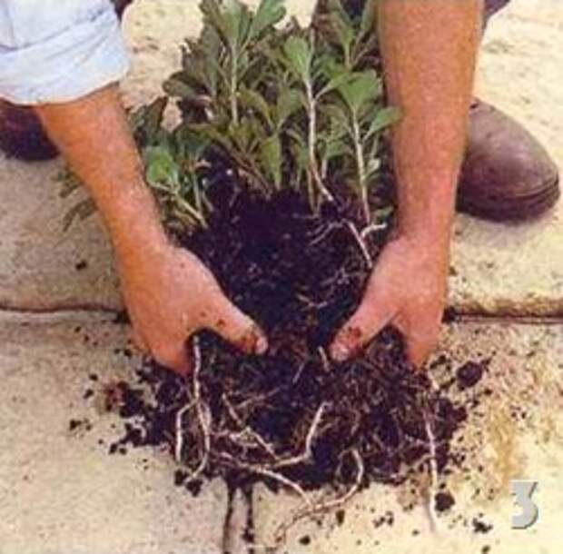 Посадка почвопокровных растений