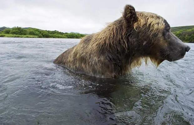 Охота бурых медведей налосось наДальнем Востоке России