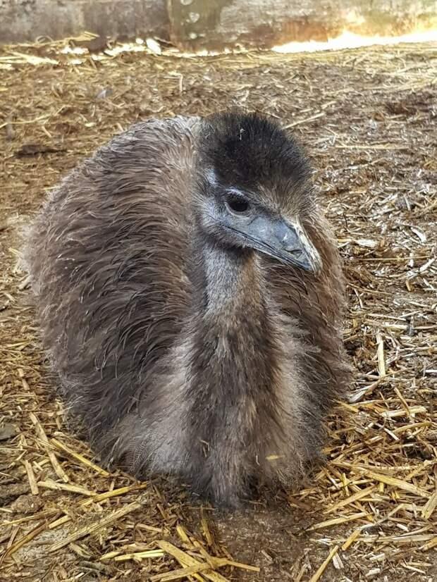 Птица заметно подросла, но своих максимальных размеров достигнет через год животные, инкубация, птица, результат, страус, фото, эму, яйцо