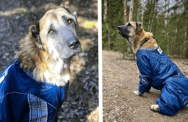 Измученная постоянными родами Альмира, наконец превратилась в породитстую собаку