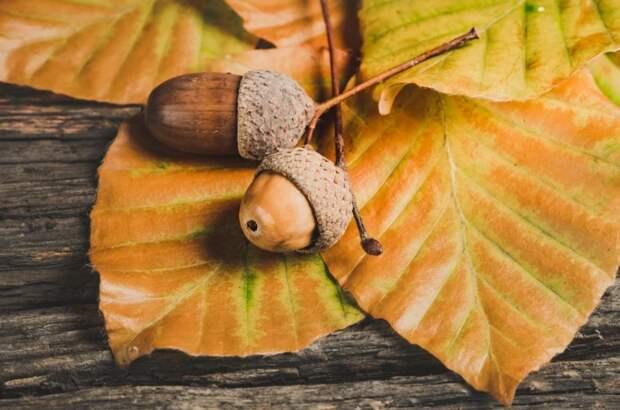 Желуди для высадки новых дубов будут принимать по пяти адресам в Свиблове
