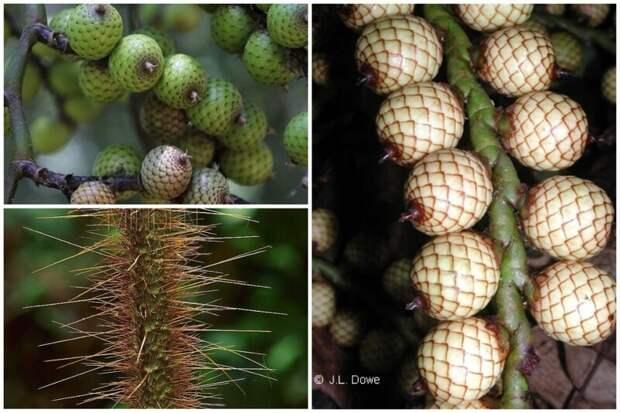 Янток (Calamus manillensis) - лоза из Австралии (разновидность ротанга) , ствол которой полностью утыкан иглами еда, интересное, неизвестные, плоды, природа, растения, съедобные, фрукты