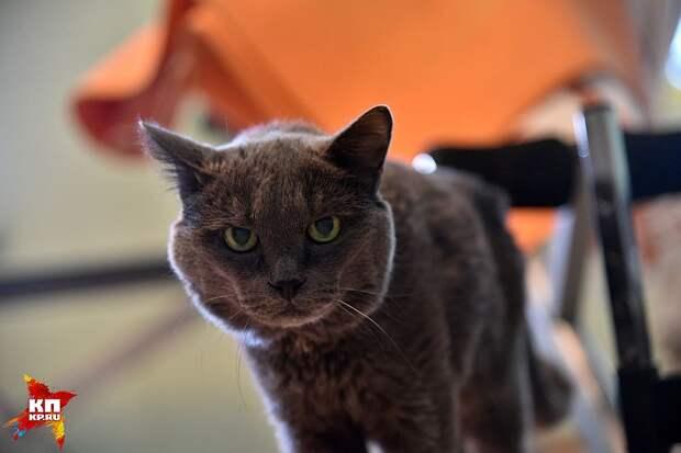 Кузя – старый, суровый кот из Новосибирска. Не боится ничего кроме... бананов. Фото: Влад КОМЯКОВ