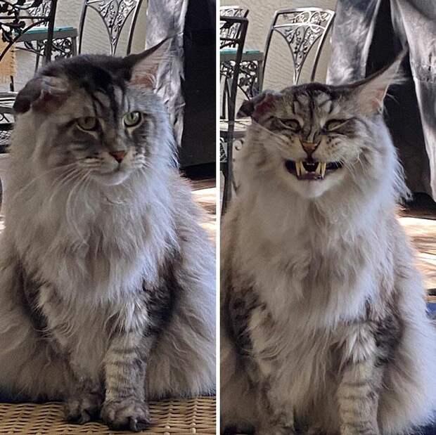 Смешные коты, которые показали свои зубки