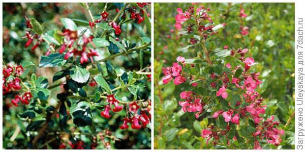 Эскаллония красная Crimsom Spire Фото с сайта rhs.org.uk. Эскаллония красная Woodside. Фото с сайта vivaipriola.com
