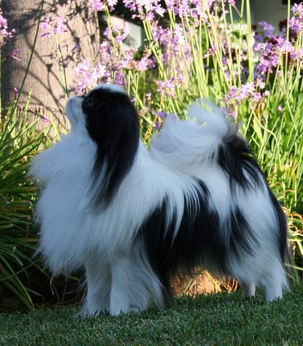 миниатюрные породы собак: Японский хин. фото