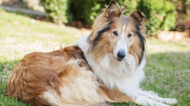 Самые агрессивные породы собак: бойтесь колли, пуделей и шнауцеров
