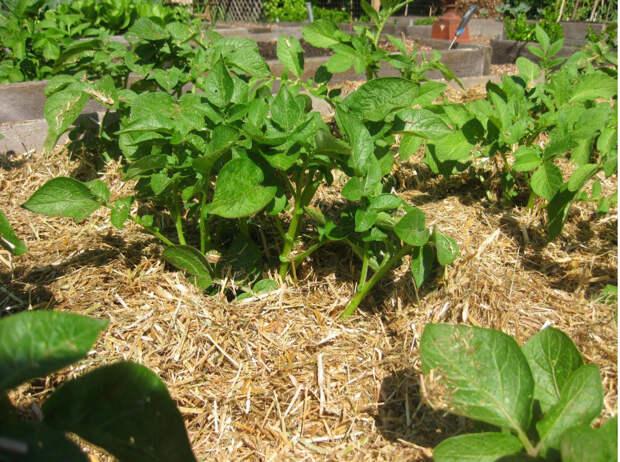Картошка на соломе: снимаем урожай все лето
