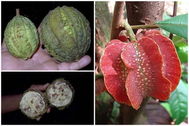 Carpotroche brasiliensis - это род кустарников и деревьев семейства Achariaceae. Мякоть белая, сладкая, слегка вяжущая еда, интересное, неизвестные, плоды, природа, растения, съедобные, фрукты