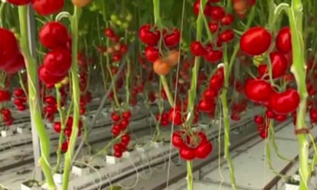 Как выращивают помидоры в австралийской пустыне