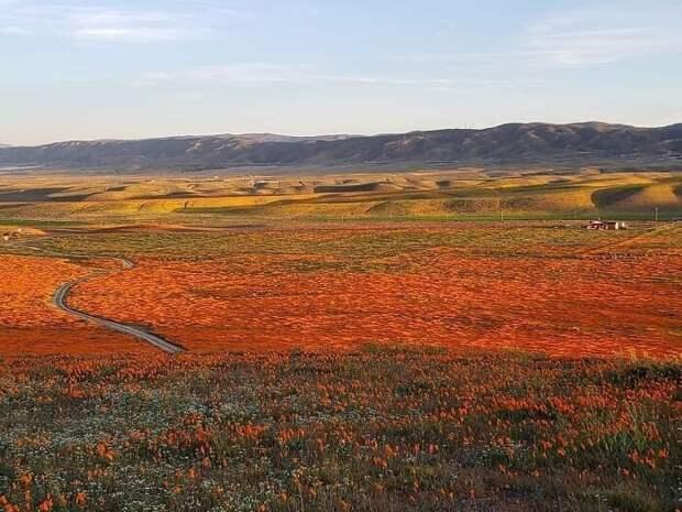ВКалифорнии после долгой засухи зацвели маки иихвидно даже изкосмоса