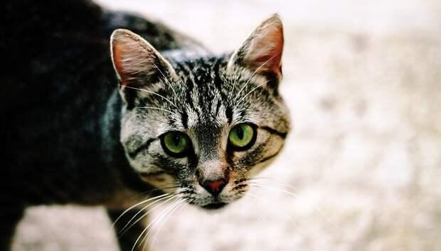 В Подольске зафиксировали случай гибели животного от «кошачьей чумки»