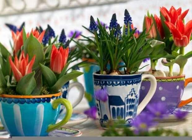 Выгонка цветов или живые цветочки к новогодним праздникам