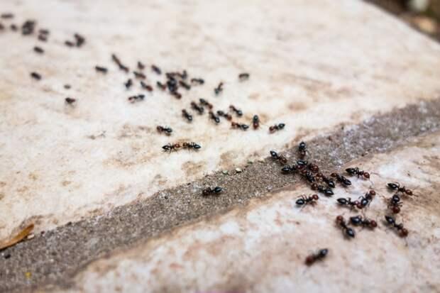как бороться с муравьями в саду