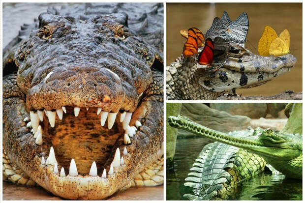 Слово «крокодил» происходит от др.-греч. κροκоδειλος — «галечный (галька — округлый камень) червь», данного из-за бугристой кожи этих животных. аллигатор, интересное, крокодил, природа, факты, фауна