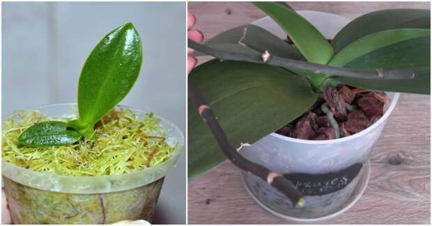 Отличный способ размножения орхидей, не требующий использования цитокининовой пасты
