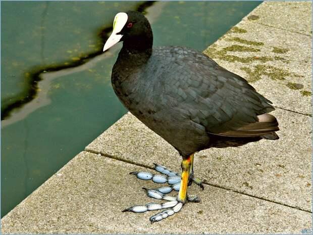 Лысуха: Птица со скелетами в шкафу. Страшнее лысухиных ног только лысухины дети