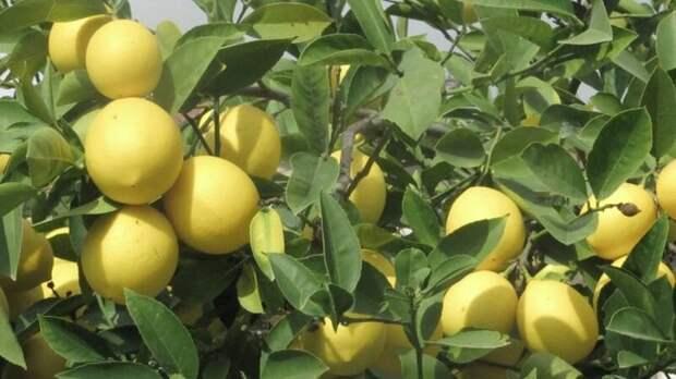 Лимон очень благодарное растение. Фото: из открытых Интернет-источников