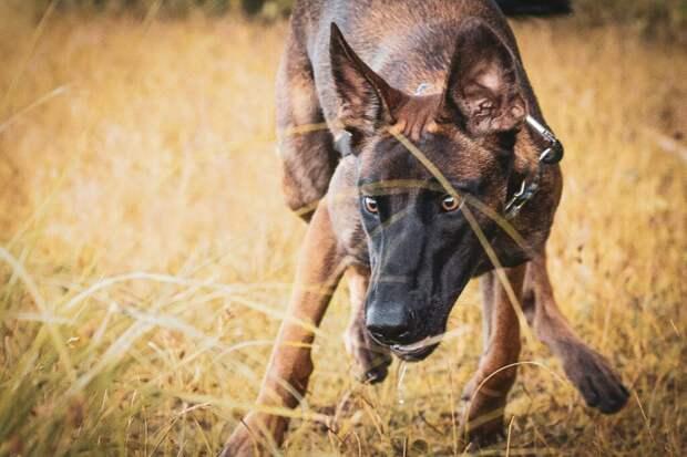 Полицейских собак продают с аукциона за то, что они слишком робкие. Торги начинаются с 31 доллара