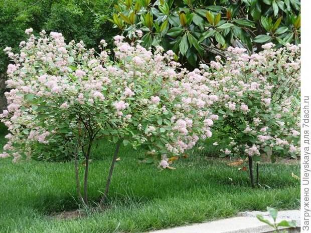 Цеанотус Marie Simon очень эффектен в период цветения, фото автора