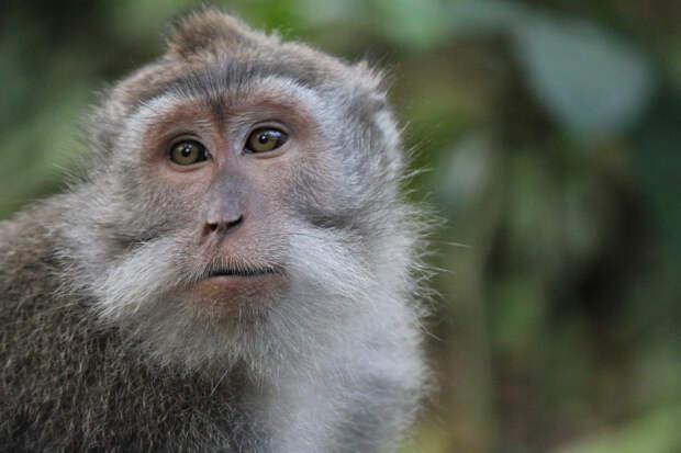 У макак-крабоедов есть всё, чтобы заговорить – кроме настроенного на речь мозга. (Фото mrkim / Flickr.com.)