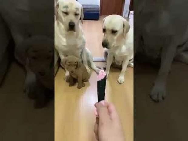 Сгрызший игрушку указал на другого, но его план раскрыл более мудрый пес