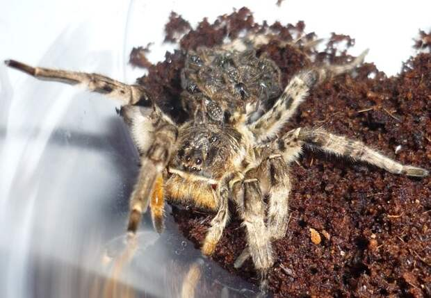 Южнорусский тарантул животные, опасные животные, россия, факты, фауна, фауна России, ядовитые животные