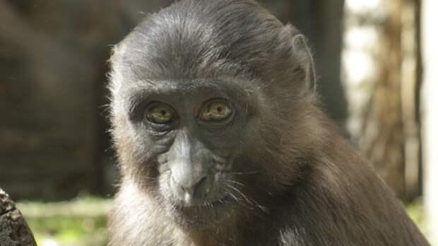 Теория о связи размера мозга приматов с числом социальных контактов не нашла подтверждения