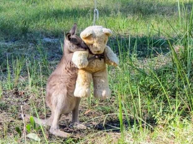 Малыш кенгуру не может оставить свою игрушку