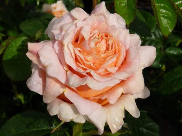 Полька — роза с очень крупными махровыми цветами