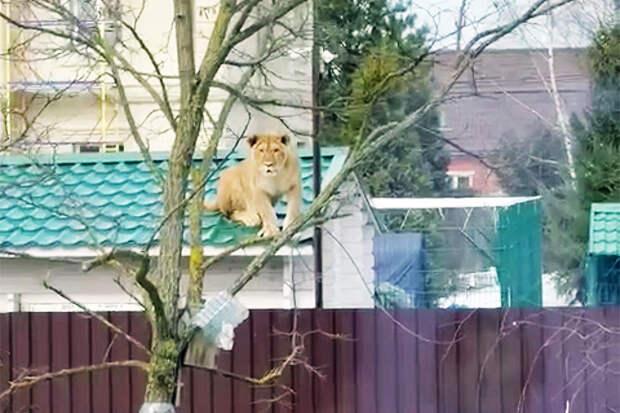 «Офигеть, соседи-пушистики»: накрыше дома вПодмосковье заметили льва