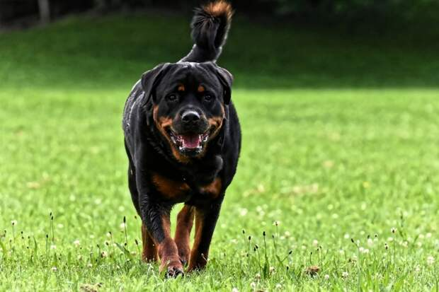 Некоторые страны внесли эту породу собак в список одних из самых опасных