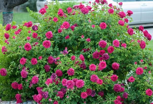 Розовый куст фото (сорт William Shakespeare 2000)