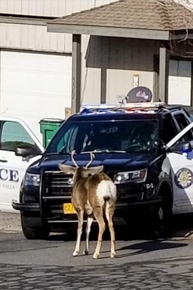 Этот олень оказался в очень затруднительном положении...