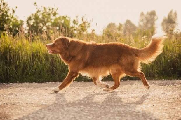 Новошотландский ретривер (толлер) больших, бульдог, до маленьких, питомец, породы, собак, такса