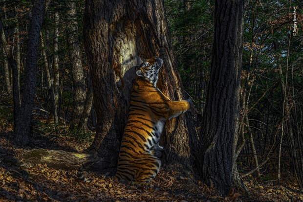 Снимок тигрицы из Приморья победил на престижном фотоконкурсе